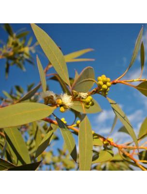 https://www.louis-herboristerie.com/24777-home_default/eucalyptus-menthole-huile-essentielle-eucalyptus-dives-10-ml-pranarom.jpg