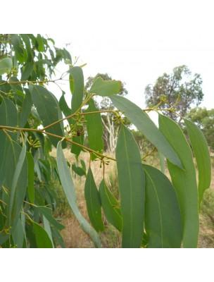 https://www.louis-herboristerie.com/24781-home_default/eucalyptus-radie-bio-huile-essentielle-eucalyptus-radiata-10-ml-pranarom.jpg