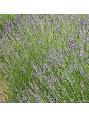 Lavandin super - Huile essentielle Lavandula burnati 10 ml - Herbes et Traditions