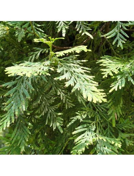 Bois de Siam - Huile essentielle Fokienia hodginsii 10 ml - Herbes et Traditions