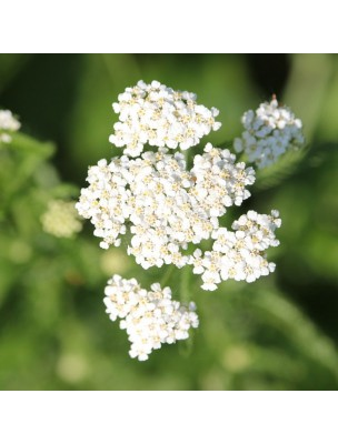 Achillée Millefeuille Bio - Huile essentielle d'Achillea Millefolium 2 ml - Herbes et Traditions