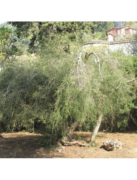 Tea Tree Bio - Huile essentielle de Melaleuca Alternifolia 10 ml - Herbes et Traditions