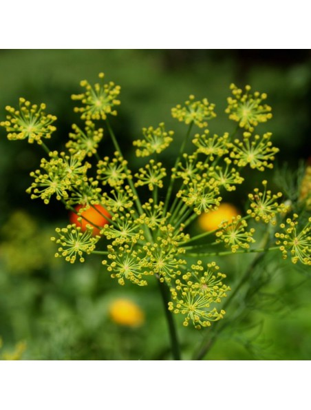 Aneth Bio - Huile essentielle d'Anethum Graveolens 5 ml - Herbes et Traditions