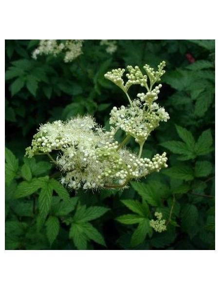 Reine des prés - Sommité fleurie coupée 100g - Tisane de Spiraea ulmaria L.