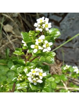 https://www.louis-herboristerie.com/25782-home_default/cochleaire-feuilles-coupees-100g-tisane-de-cochlearia-officinalis.jpg