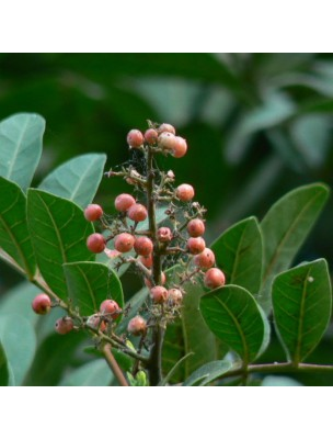 Poivre Rose Bio - Baie 100g - Tisane de Schinus terebenthifolia Raddi