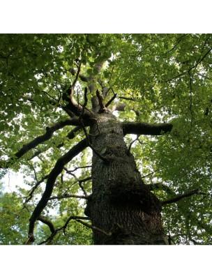 Chêne - Ecorce coupée 100g - Tisane de Quercus robur L.