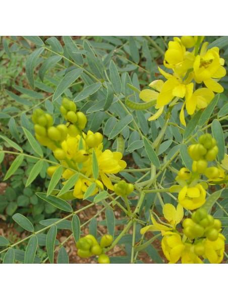 Séné Tinnevelly - Feuilles entières 100g - Tisane de Cassia angustifolia