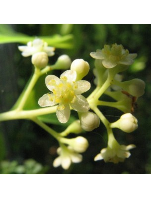 Ravintsara Bio - Perles d'huiles essentielles - Pranarôm