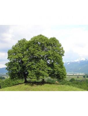 Véritable Aubier du Tilleul sauvage du Roussillon Bio - Drainage 30 ampoules - La Gravelline