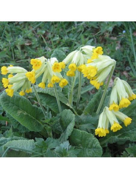 Primevère Bio - Fleurs 100g - Tisane de Primula veris L.