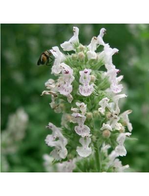 Cataire Bio - Digestion Teinture-mère de Nepata cataria 50 ml - Herbiolys