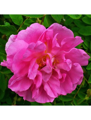 Rose Bio - Hydrolat de Rosa Damascena 200 ml - Herbes et Traditions