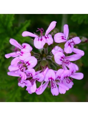 https://www.louis-herboristerie.com/28935-home_default/geranium-bourbon-bio-hydrolat-de-pelargonium-graveolens-200-ml-herbes-et-traditions.jpg