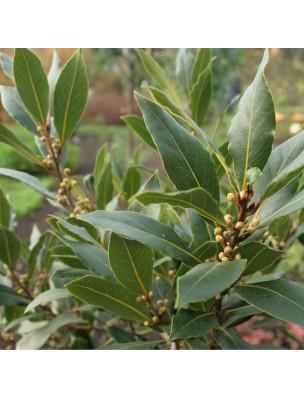 Laurier noble Bio - Huile essentielle Laurus nobilis 5 ml - Herbes et Traditions