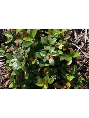https://www.louis-herboristerie.com/39988-home_default/gaultherie-couchee-bio-huile-essentielle-de-gaultheria-procumbens-10-ml-herbes-et-traditions.jpg