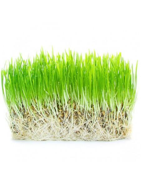 Herbe d'orge en poudre Bio - SuperFoods 200g - Purasana