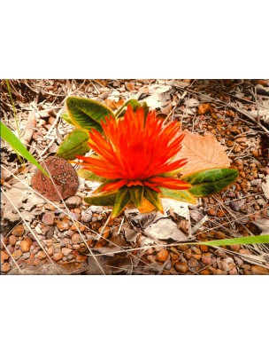 https://www.louis-herboristerie.com/6296-home_default/gomphrena-sommeil-et-cheveux-130-gelules-guayapi.jpg