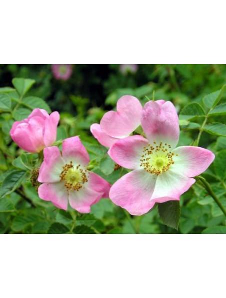 Bain harmonisant à la Rose musquée - Douceur et beauté 100 ml - Weleda