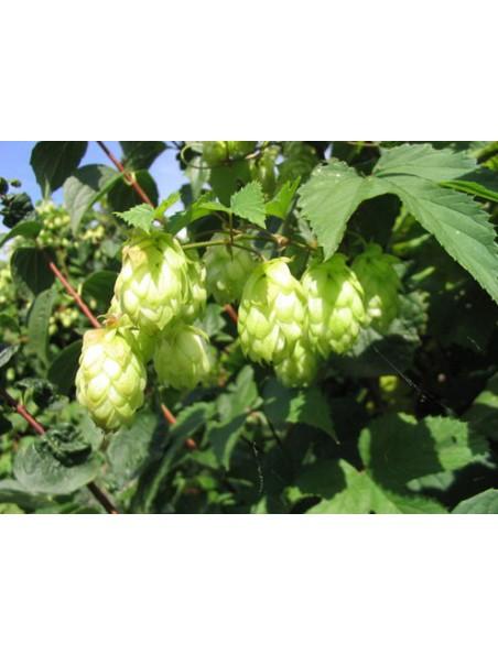 Houblon Bio - Le cône 50g -Tisane-d'Humulus lupulus