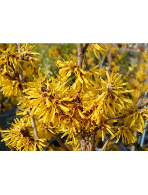 https://www.louis-herboristerie.com/7101-home_default/hamamelis-bio-circulation-teinture-mere-hamamelis-virginiana-50-ml-biover.jpg