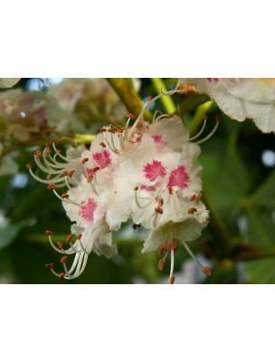 https://www.louis-herboristerie.com/7134-home_default/white-chestnut-marronnier-blanc-n-35-ruminations-mentales-20ml-fleurs-de-bach-original.jpg