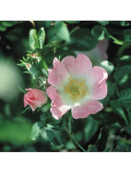 Wild Rose (Eglantier) N° 37 - Résignation 20ml - Fleurs de Bach Original