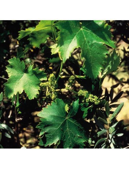 Vine (Vigne) N°32 - Autoritaire 20ml - Fleurs de Bach Original