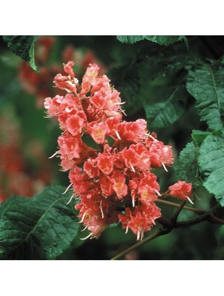 Red Chestnut (Châtaigne rouge) N°25 - Craintes pour ses proches 20ml - Fleurs de Bach Original