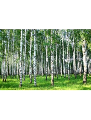 https://www.louis-herboristerie.com/7666-home_default/bouleau-bourgeon-bio-50-ml-articulations-et-drainage-herbalgem-.jpg