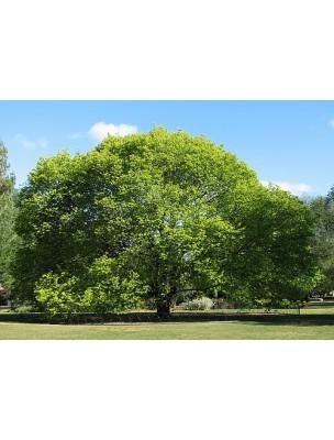 https://www.louis-herboristerie.com/7799-home_default/orme-bourgeon-bio-draineur-et-peau-15-ml-herbalgem.jpg