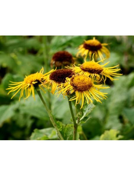 Inule (Grande Aunée) Bio - Fatigue Teinture-mère Inula helenium 50 ml - Herbiolys