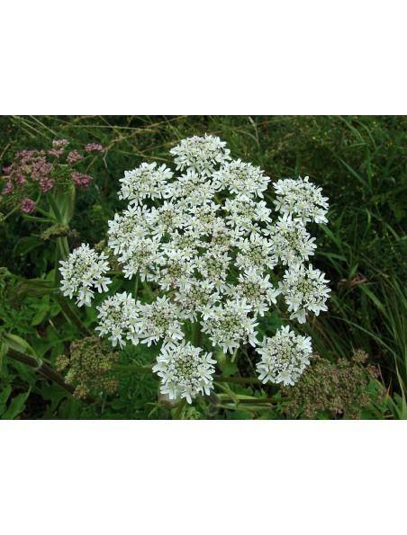Grande berce Bio - Teinture-mère 50 ml - Herbiolys