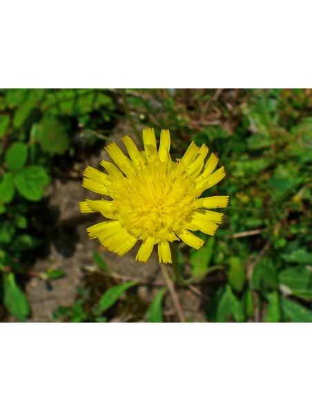 Piloselle Bio - Diurétique Teinture-mère de Hieracium pilosella 50 ml - Herbiolys