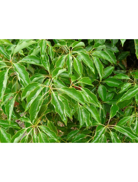 Ravintsara Bio - Cinnamomum camphora 10 ml - Pranarôm