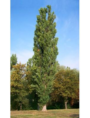 https://www.louis-herboristerie.com/7974-home_default/peuplier-bourgeon-bio-15-ml-herbalgem.jpg
