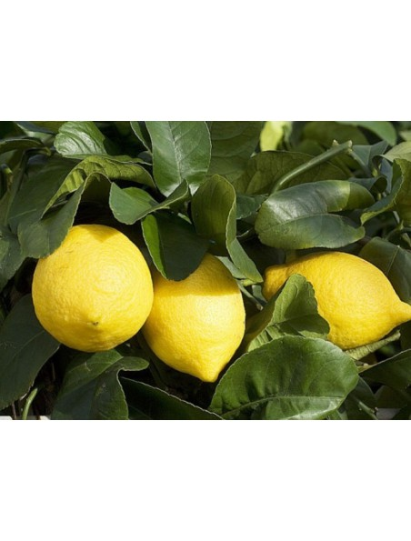 Citronnier bourgeon Bio - Circulation 50 ml - Herbalgem