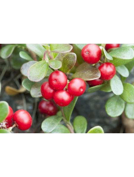 Raisin d'ours (Busserole) Bio - Teinture-mère Arctostaphylos uva-ursi 50 ml - Herbiolys