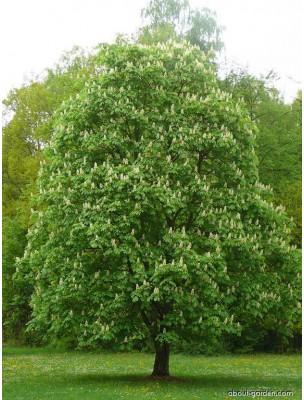 https://www.louis-herboristerie.com/8010-home_default/marronnier-inde-bio-glules-purasana.jpg