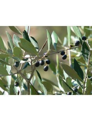 https://www.louis-herboristerie.com/8019-home_default/olivier-bio-circulation-120-gelules-purasana.jpg