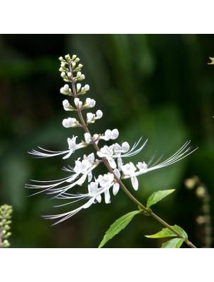https://www.louis-herboristerie.com/8054-home_default/orthosiphon-th-de-java-bio-glules-purasana.jpg