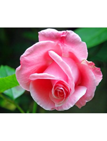 Thé des Mamans Bio - Thé vert à la fraise, à la framboise et à la rose 100g - L'Autre thé