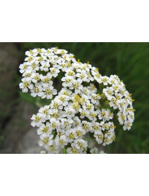 https://www.louis-herboristerie.com/8381-home_default/achillee-millefeuille-bio-femmes-teinture-mere-achillea-millefolium-50-ml-biover.jpg