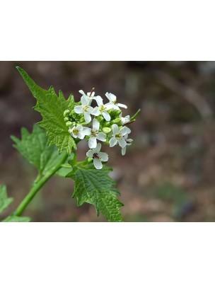 https://www.louis-herboristerie.com/8389-home_default/alliaire-bio-teinture-mere-50-ml-herbiolys.jpg