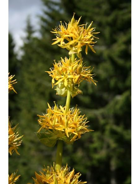 Gentiane jaune Bio - Racine coupée 100g - Tisane Gentiana lutea L.