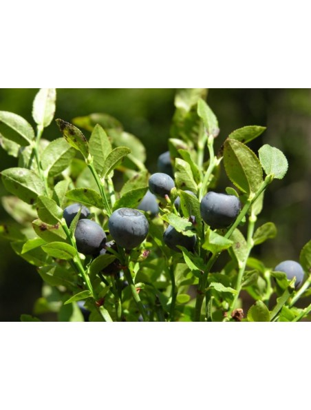Myrtillier bourgeon Bio - Glycémie et vue 50 ml - Herbalgem