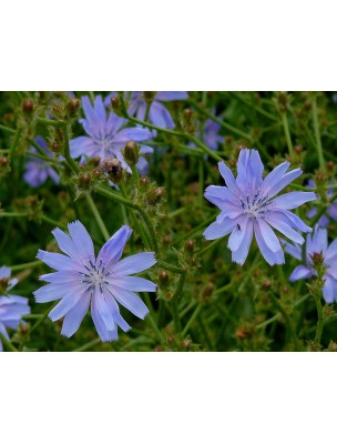 https://www.louis-herboristerie.com/8651-home_default/chicoree-sauvage-bio-racine-coupee-100g-tisane-cichorium-intybus-l.jpg