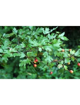https://www.louis-herboristerie.com/8689-home_default/aubepine-bio-sommite-fleurie-100g-tisane-de-crataegus-monogyna-jacq.jpg