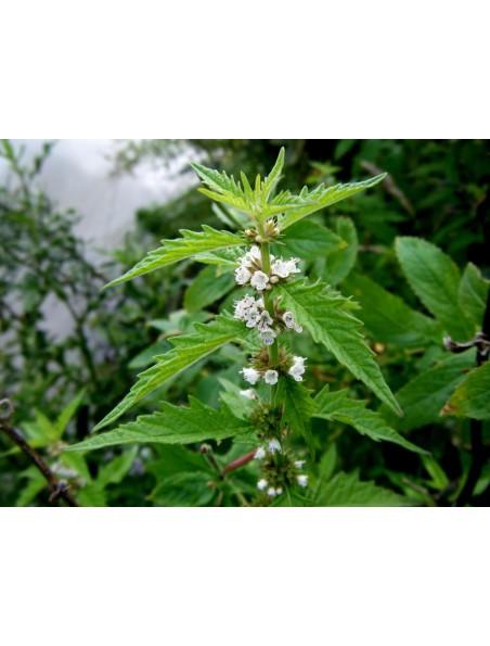 Lycope Bio - Thyroïde Teinture-mère Lycopus europaeus 50 ml - Herbiolys