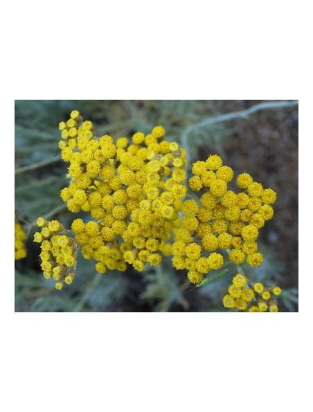 Hélichryse (Immortelle) Bio - Hydrolat (eau florale) 200 ml - Abiessence